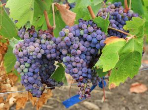 Picture of grapes on the vine