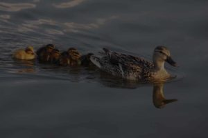 picture of ducks in water in a row
